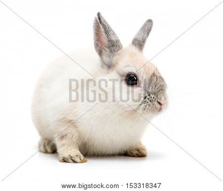 white rabbit isolated on a white background