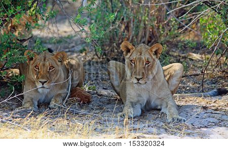 Two Lions laying beneath a bush staring as if watching something