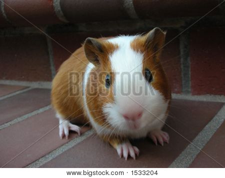 Baby Satin Guinea Pig On Bricks