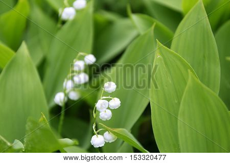 Blossoming lilies of the valley on blur leaves background.