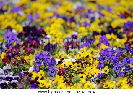 Floral garden with violet and yellow flowers