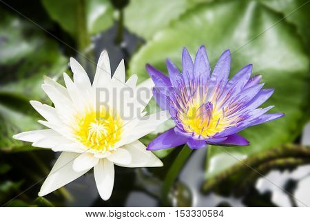 The violet and white lotus or water lily.