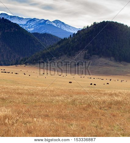 Landscape scene with snow-capped mountains and a large herd of buffalo.