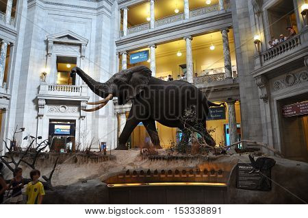 WASHINGTON DC - AUG 11, 2010: National Museum of Natural History, Washington DC, USA. The massive African Bush elephant is one of the highlights of the museum.