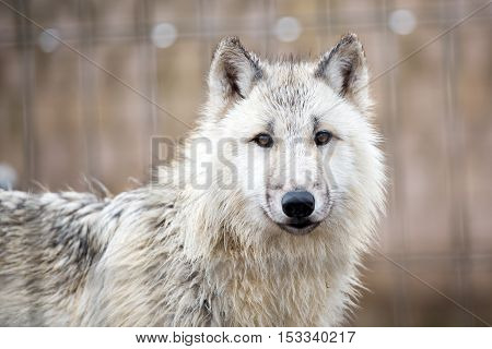young white wolf portrait in the zoo