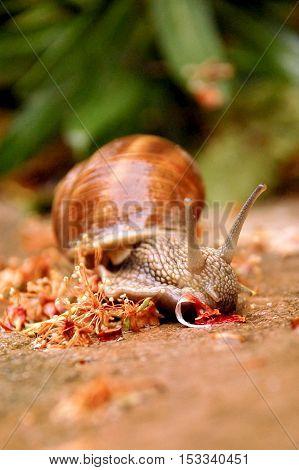 Closeup view of a garden snail after the rain.