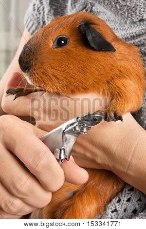 hands cutting claws of guinea pig with nail clipper
