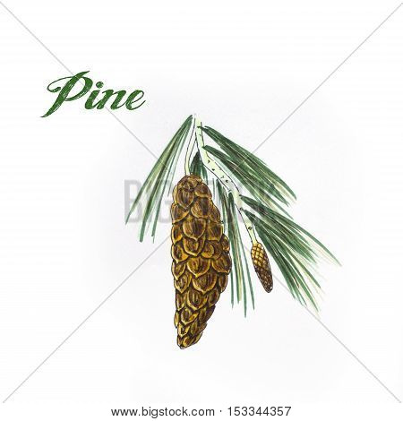 Hand drawn pine cone and branch isolated on white. Color illustration