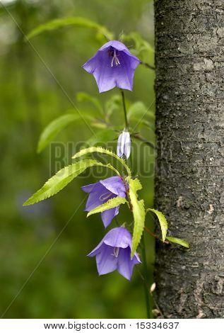 Campanula bell-fower under tree