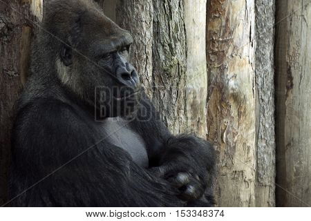 The big black gorilla is sitting and resting on wooden background.
