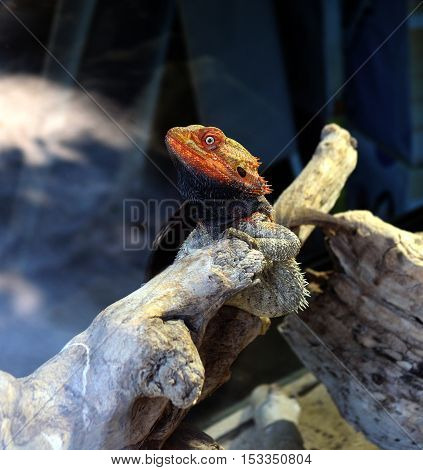 Bearded Dragon on a piece of wood