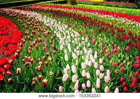 Colorful growing tulips stripes flowerbed at spring day, retro toned