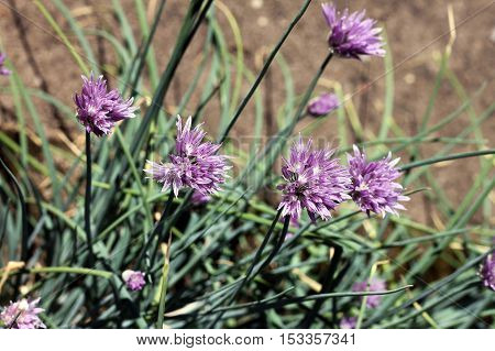 Chives (Allium schoenoprasum) is perennial bulbous plant. Chives are grown for their scapes which are used for culinary purposes as a flavoring