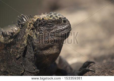 Wild Scene Of Lizard Close Up In Galapagos Island