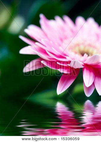 Closeup de Rosa Margarita-gerbera con desenfoque, reflejado en el agua