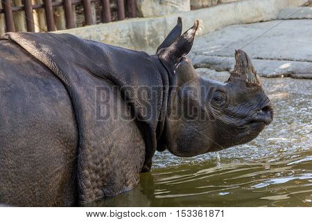 Rhino With Damaged Horn In Water In Zoo