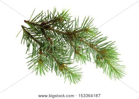 Nature in detail. Christmas. Elements. Design .Branches of a fir-tree isolated on white background without shadows.