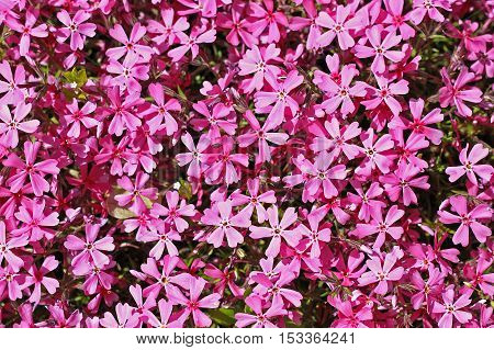 Moss phlox (Phlox subulata) or mountain phlox creeping phlox moss pink it is an evergreen perennial forming mats or cushions of hairy linear leaves. The small five-petaled flowers bloom in rose mauve blue white or pink in late spring to early summer.