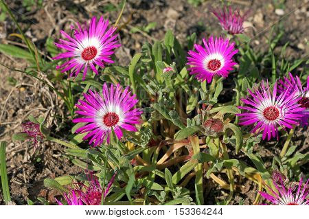 Dorotheanthus bellidiformis commonly called Livingstone daisy Bokbaaivygie (Afrikaans) or Buck Bay vygie is a species of flowering plant native in South Africa. It is a low-growing succulent plant