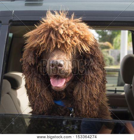 Brown Shaggy Dog looking out a Car Window
