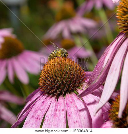 Bee on flower Echinacea Purpurea against natural green background