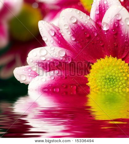 Closeup of pink daisy-gerbera with water drops