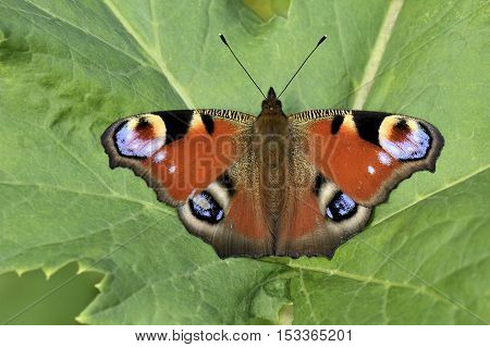 Peacock Butterfly sitting on background of green leaf