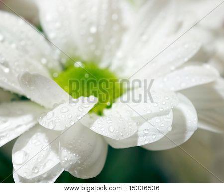 Closeup of white daisy-gerbera with soft focus