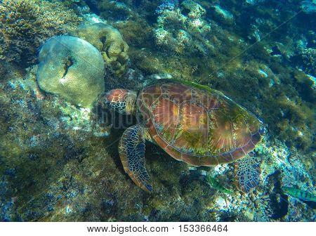 Sea turtle on sea bottom. Green sea turtle close photo in ocean lagoon. Sea turtle eating seaweed. Tropical sea ecosystem.