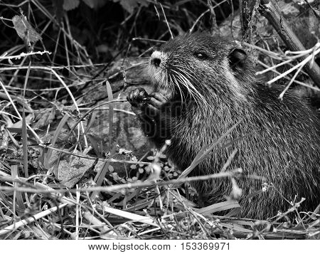 Coypu, nutria beautiful, big coypu, nutria searching for food.
