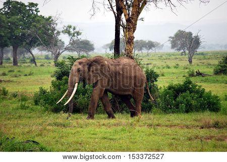 Elephant isolated in the savanna in Tanzania
