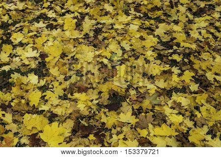 Autumn leaves of maple on the meadow