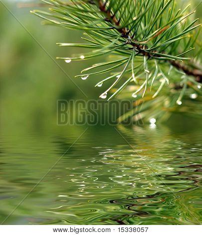 Rama verde de pinos reflejada en el agua