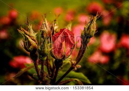 a bush of beautiful pink rose buds