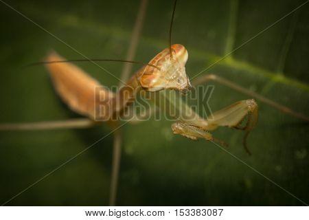Close up macro Chinese praying mantis insect nymph
