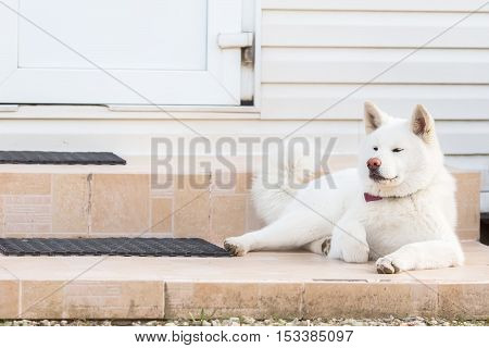 Large White Fluffy Dog Laying In The Street