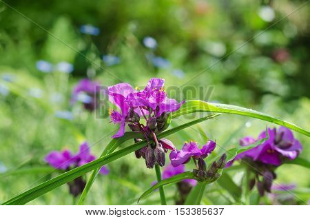 Spiderwort flowers on nature background, colorful bokeh