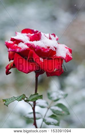 Red rose on the background of going of snow, colorful bokeh