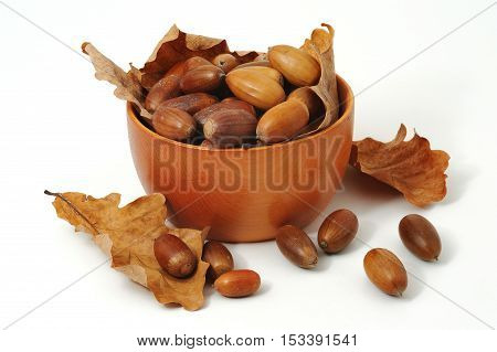 Acorns and oak leaves in the cup on white background
