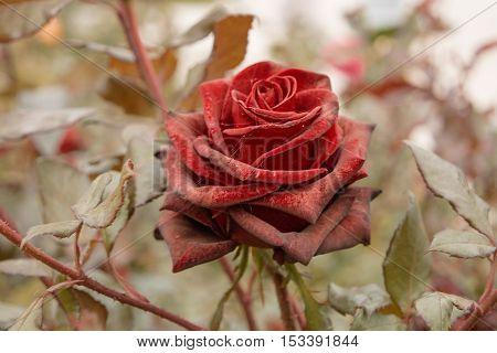 Beautiful dark red rose in the garden, selective focus, vintage color, dying plant in autumn, sad fall mood.