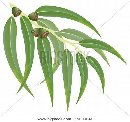 Eucalyptus Branch. Vector Illustration.