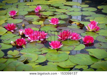 Water lily on the pond during summer