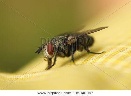 Big eyed fly macro