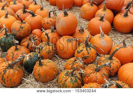 pumpkins on the farm field in harvest season