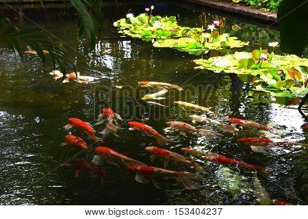 Blur Koi fish swimming in water garden fancy carp fish koi fishes Koi fish in the pond
