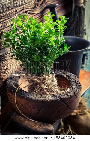 Small Seedling Of Tree In Wooden Mortar