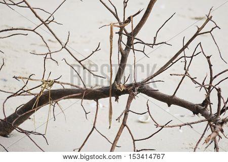 Dead tree on beach. Dead tree branch on beach background