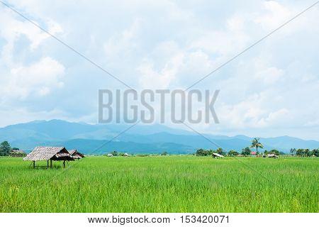 Green Rice Field At Chiang Mai , Thailand