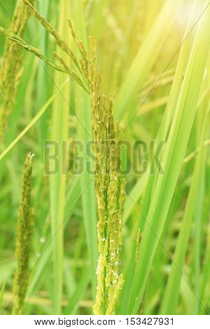 Close up of golden rice paddy in rice field.