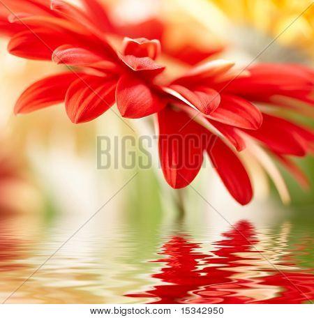 Daisy-gerbera rojo con desenfoque, reflejado en el agua